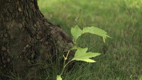 Kleine esdoornboom het schudden bladeren in wind, Ent van jonge esdoorn, jonge esdoorn naast de oude boom stock videobeelden