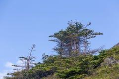 Kleine Evergreens und blauer Himmel, Neufundland Lizenzfreies Stockfoto