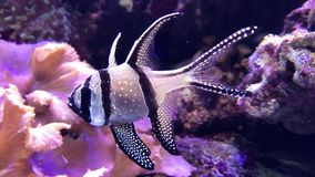 Kleine exotische vissen stock footage