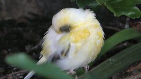 Kleine exotische vogel stock video