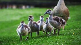 Kleine familie van wilde eenden stock foto's