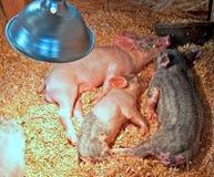 Kleine Ferkel, die unter Hitze-Lampe schlafen Lizenzfreies Stockfoto