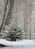 Kleine Fichten im Schneefall stockfotografie