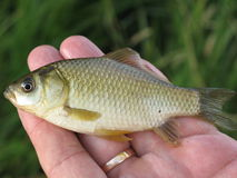 Kleine Fische auf einer Hand Stockfotos