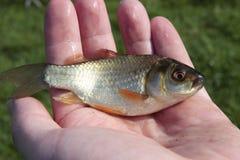 Kleine Fische in der Hand des Mannes lizenzfreie stockfotos