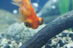 kleine fische einem aquarium stock fotos melden sie sich kostenlos an. Black Bedroom Furniture Sets. Home Design Ideas