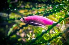 Kleine Fische im Aquarium stockfoto