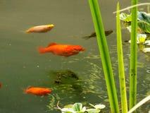 Kleine Fische im Teich Stockfoto