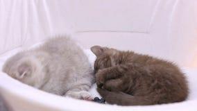Kleine flaumige Kätzchen, die im Haustierhaus, Katzen spielen während der Haustierausstellung liegen stock footage