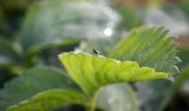 Kleine Fliege sitzt auf einem Blatt der Erdbeernahaufnahme mit einem unscharfen Hintergrund lizenzfreie stockfotografie