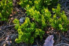 Kleine frische Grünpflanze Lizenzfreie Stockfotos