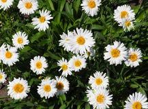 Kleine Gänseblümchen Stockbilder