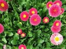 Kleine Gänseblümchen Stockbild