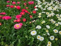 Kleine Gänseblümchen Lizenzfreies Stockfoto