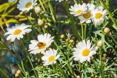 Kleine Gänseblümchen mit Honigbiene Lizenzfreie Stockfotos