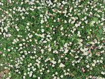 Kleine Gänseblümchenblumen im grünen Gras Stockfotos