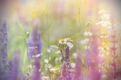 Kleine Gänseblümchenblumen zwischen purpurroten Blumen Stockbilder