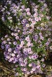 Kleine Garten Astra-Blumen Lizenzfreies Stockbild