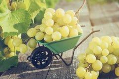 Kleine Gartenschubkarre voll von Trauben auf hölzernem Brett im Garten draußen Stockfoto