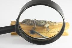 Kleine Gecko-Eidechse und Lupe stockbild