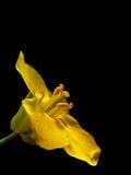 Kleine geel (Brassica napus) royalty-vrije stock afbeelding