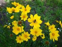 Kleine geflügelte Honigbiene u. gelbe Blume Stockfoto