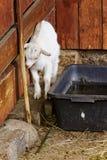 Kleine geit in dierentuin Stock Afbeeldingen