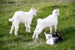 Kleine geit drie die zich op groen gras bevinden Stock Foto