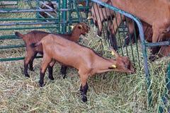 Kleine geiten Stock Foto