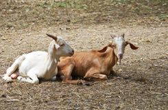Kleine geiten Stock Afbeeldingen
