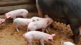 Kleine gekke piggies in landbouwbedrijf stock videobeelden