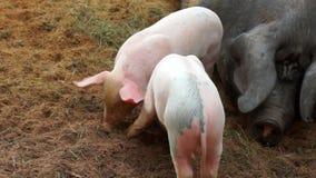 Kleine gekke piggies in landbouwbedrijf stock footage