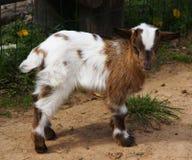 Kleine gekleurde geit Royalty-vrije Stock Afbeelding