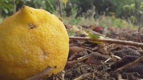 Kleine gelaten vallen citroen Stock Foto's
