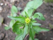 Kleine gelbe Blume Stockfoto