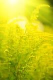 Kleine gelbe Blume mit Sonnestrahlen Stockfotos