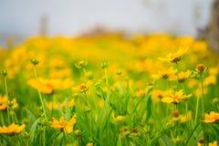 Kleine gelbe Blume wild gewachsen Lizenzfreies Stockfoto