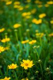 Kleine gelbe Blume wild gewachsen Lizenzfreies Stockbild