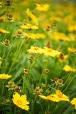 Kleine gelbe Blume wild gewachsen Stockfotos
