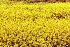 Kleine gelbe Blumen auf einem Gebiet Stockfotos