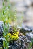 Kleine gelbe Blumen, die im Frühjahr unter den Steinen blühen stockfotografie
