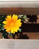 Kleine gelbe Chrysanthemenblume lizenzfreies stockbild