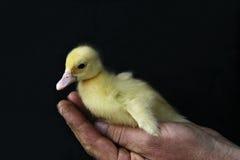 Kleine gelbe Ente Lizenzfreies Stockbild