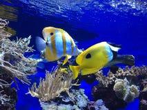 Kleine gelbe Fische Stockbild