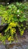 Kleine gelbe flüssige Gebirgsblumen lizenzfreie stockfotografie