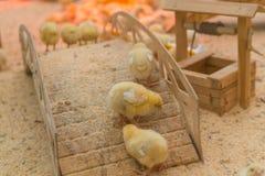 Kleine gelbe Hühner aalen sich im Bauernhof Lizenzfreies Stockfoto