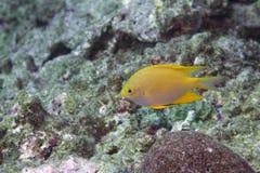 Kleine gelbe korallenrote Fische Stockfoto