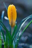 Kleine gelbe Krokusblume in den Wassertropfen stockbilder