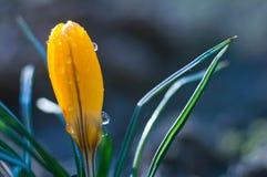 Kleine gelbe Krokusblume in den Wassertropfen lizenzfreie stockbilder