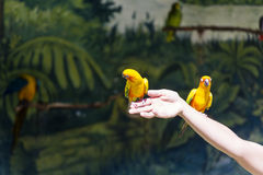 Kleine gelbe Papageien, die am Showprogramm teilnehmen Stockbilder